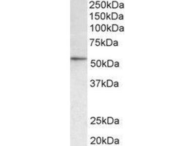 Goat Anti-Hdac1 Antibody