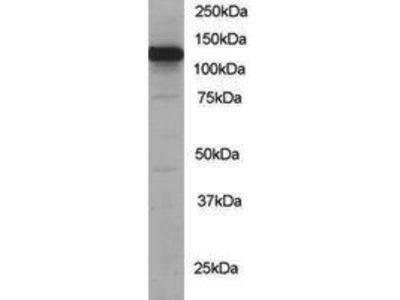 Goat Anti-KIF5B Antibody
