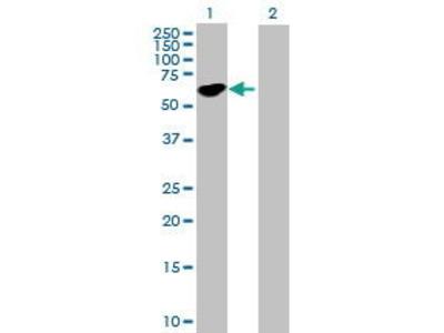 Mouse Anti-STAU1 Antibody