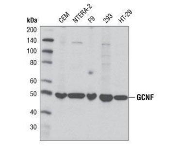 Rabbit Anti-Germ Cell Nuclear Factor Antibody