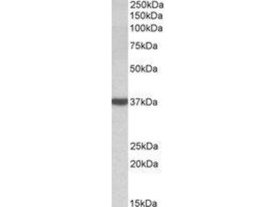 Goat Anti-D-Amino-Acid Oxidase Antibody