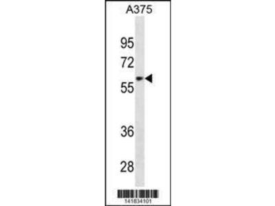 Rabbit Anti-ZNF394, ID Antibody