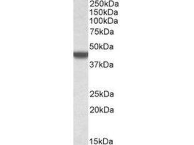 Goat Anti-APOBEC3D Antibody