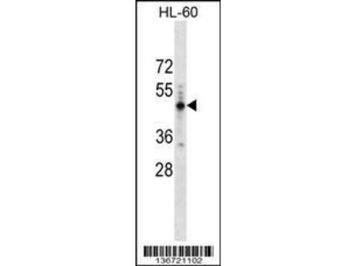 Rabbit Anti-PRAMEF14, ID Antibody