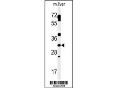 Rabbit Anti-TBCD7, ID Antibody