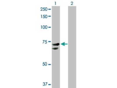 Rabbit Anti-NR1D2 Antibody