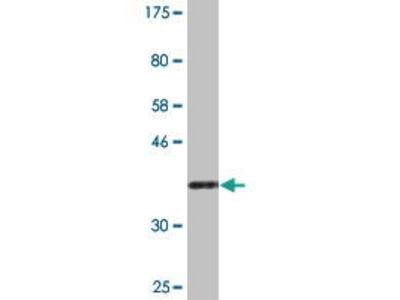 Mouse Anti-NAPG Antibody