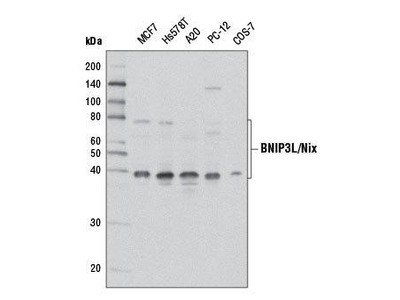 Rabbit Anti-BNIP3L/Nix Antibody