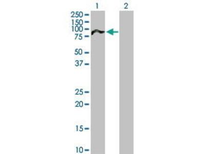 Mouse Anti-NUAK2 Antibody