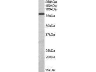 Goat Anti-ZBTB24 Antibody