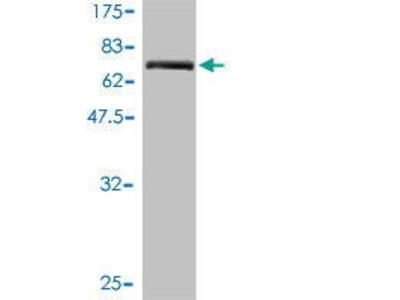 Mouse Anti-ANO10 Antibody