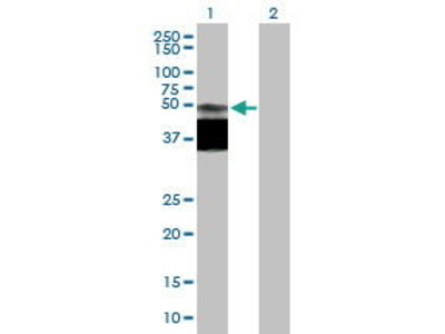 Mouse Anti-SLC52A1 Antibody