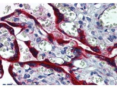 Mouse Anti-FBN1 Antibody