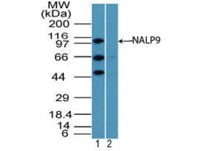 Rabbit Anti-NALP9 Antibody