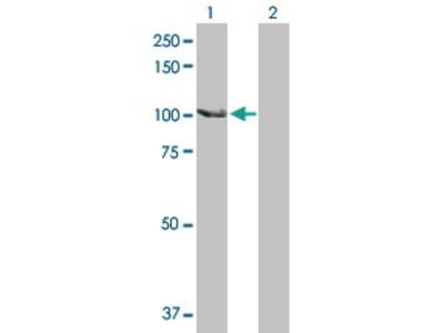 Rabbit Anti-SCYL2 Antibody