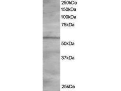 Goat Anti-OSBPL2 Antibody