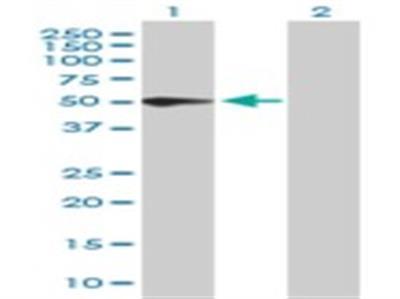 PSG3 Antibody