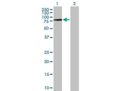 Rabbit Anti-COL9A3 Antibody