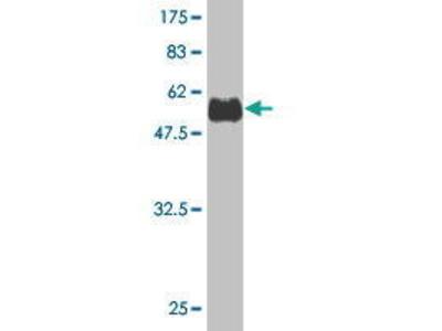 Mouse Anti-SNX29 Antibody
