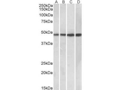 Goat Anti-BEND5 Antibody