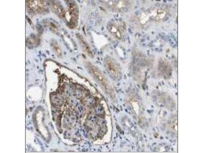 Apolipoprotein A-I / ApoA1 Antibody (12C8) - BSA Free