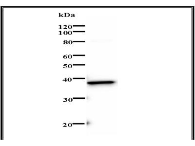 Mouse Anti-Sox 4 Antibody