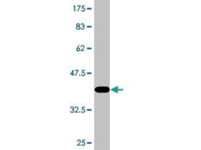 Mouse Anti-DSN1 Antibody
