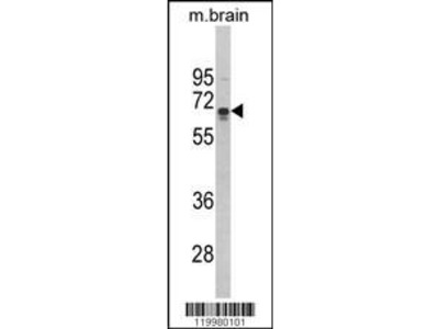 Rabbit Anti-BRAM1 Antibody
