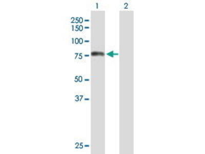 Mouse Anti-TOMM70A Antibody