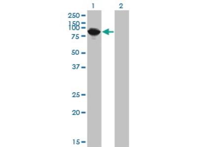 Mouse Anti-THNSL1 Antibody