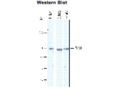 Sheep Anti-CHD1L Antibody