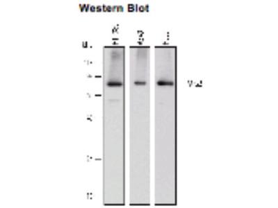Mouse Anti-KIND2 Antibody