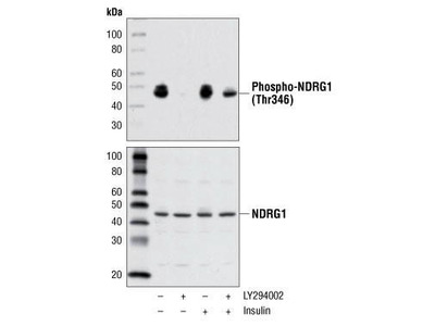 Rabbit Anti-N-myc Downstream Regulated Gene 1 Protein, phosphorylated Antibody