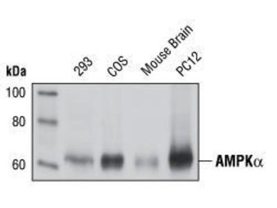 Rabbit Anti-AMPK alpha Antibody