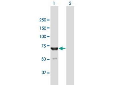 Mouse Anti-IKZF2 Antibody