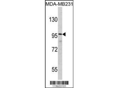 Rabbit Anti-DLGAP1, NT Antibody