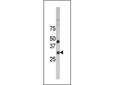 Rabbit Anti-GAS41, NT Antibody