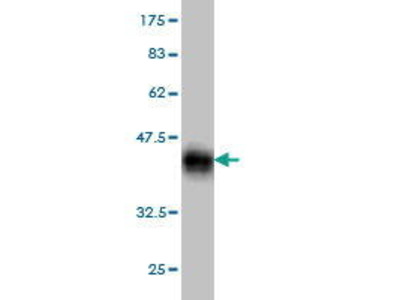 Mouse Anti-RLIM Antibody
