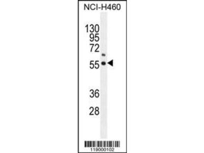 Rabbit Anti-COQ6, NT Antibody