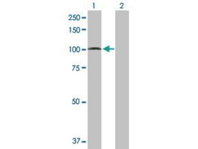 Mouse Anti-PCDHGA5 Antibody