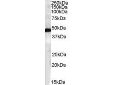 Goat Anti-FBXL2 Antibody