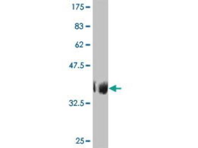 Mouse Anti-TAF6L Antibody