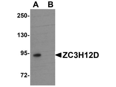 Rabbit Anti-ZC3H12D Antibody