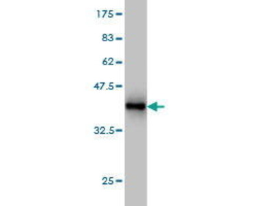 Mouse Anti-PCDH20 Antibody