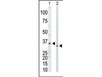 Rabbit Anti-PRPS1, PRPS2, PRPS3, NT Antibody