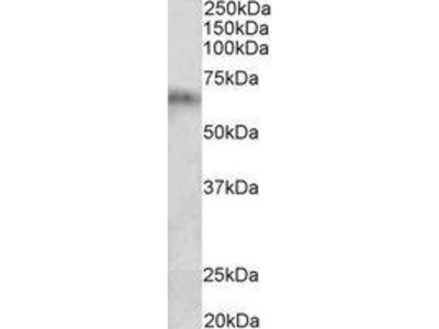 Goat Anti-Cyp2d5 Antibody