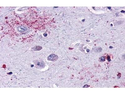 Rabbit Anti-MAS1 Antibody