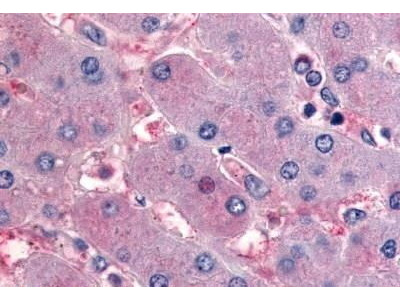 Rabbit Anti-NR5A2 Antibody