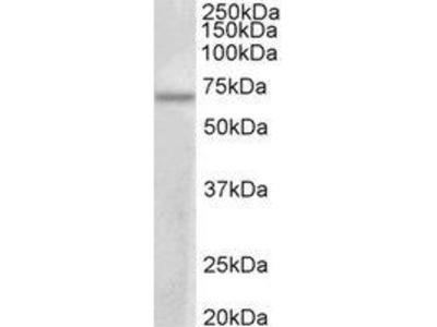 Goat Anti-PRMT3 Antibody
