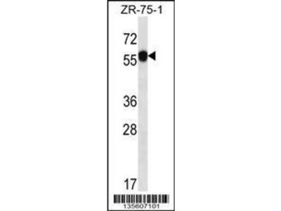 Rabbit Anti-C6orf211, NT Antibody